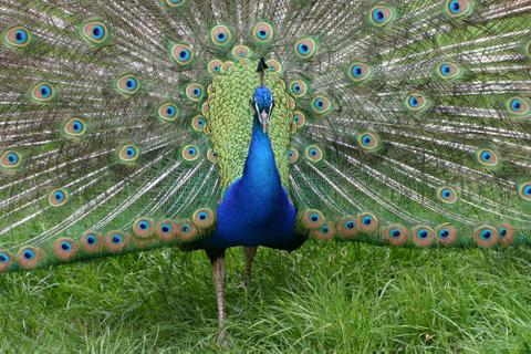 blauwe-pauw-1